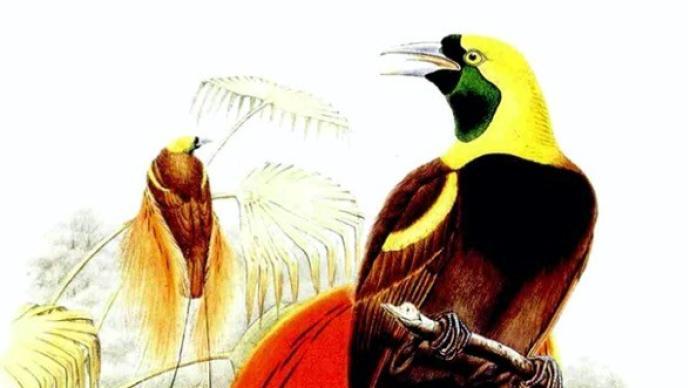 王宏超读《遇见天堂鸟》︱羽毛窃贼:美丽与欲望的纠缠