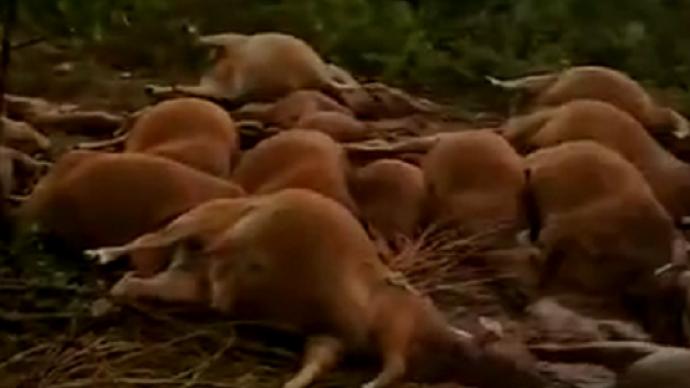 海南东方市42头牛被雷电劈死,农业局:被电晕户主已无大碍