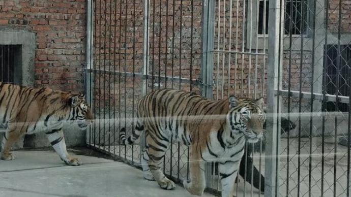 为何要击毙两只外逃老虎?河南淅川县公布处置细节