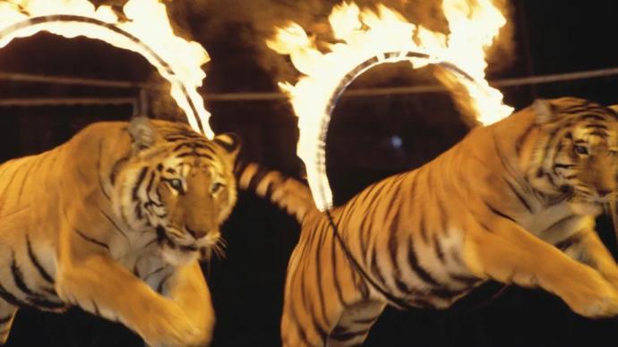 中青评论:一人两虎接连殒命,禁止非法动物表演有多难?