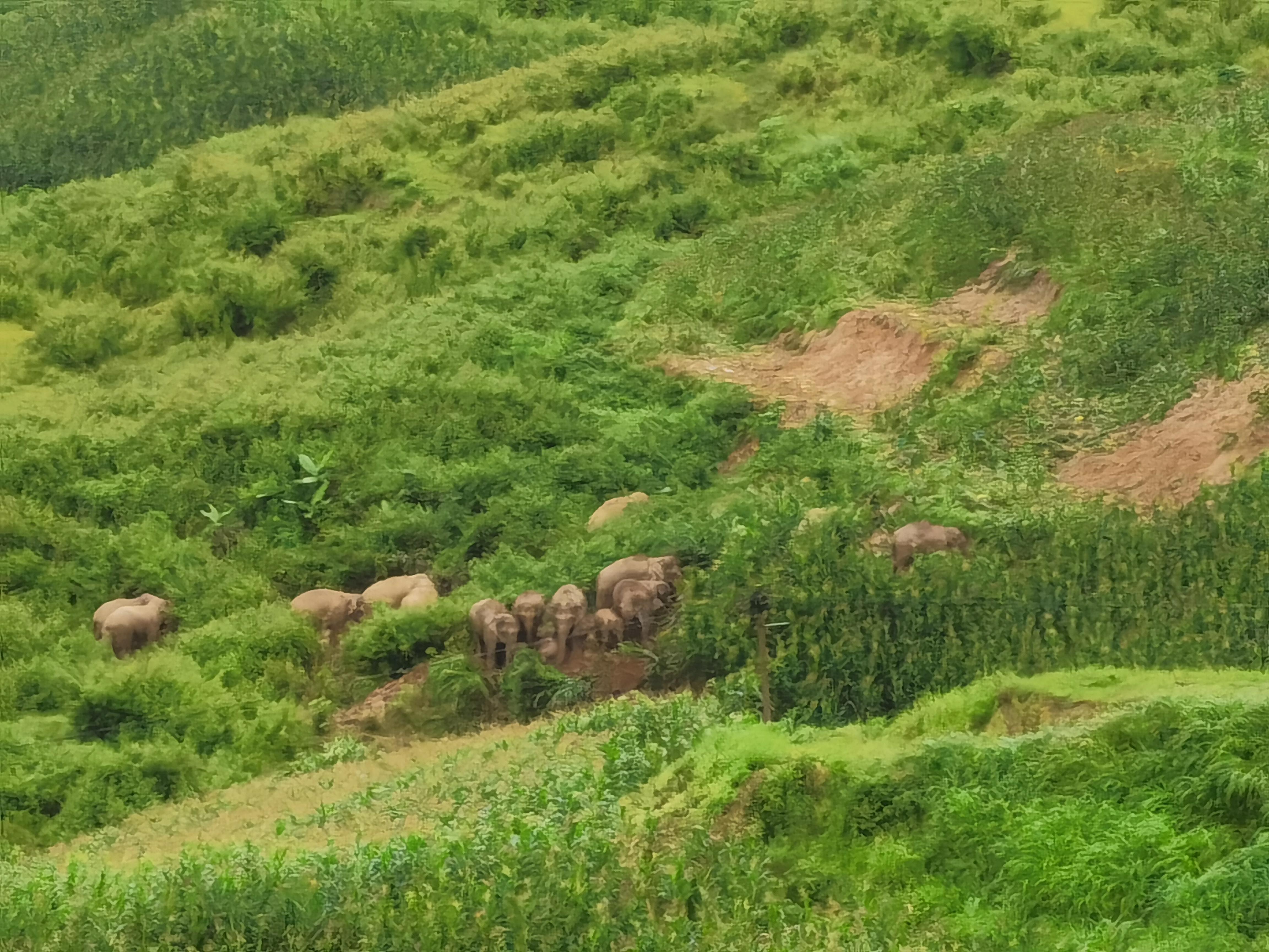 成群结队的亚洲象在深山出没。课题组拍摄于云南