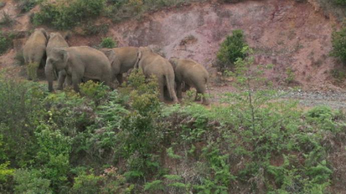 象群目前距离昆明市晋宁区50公里,云南省林草局推迟发布会