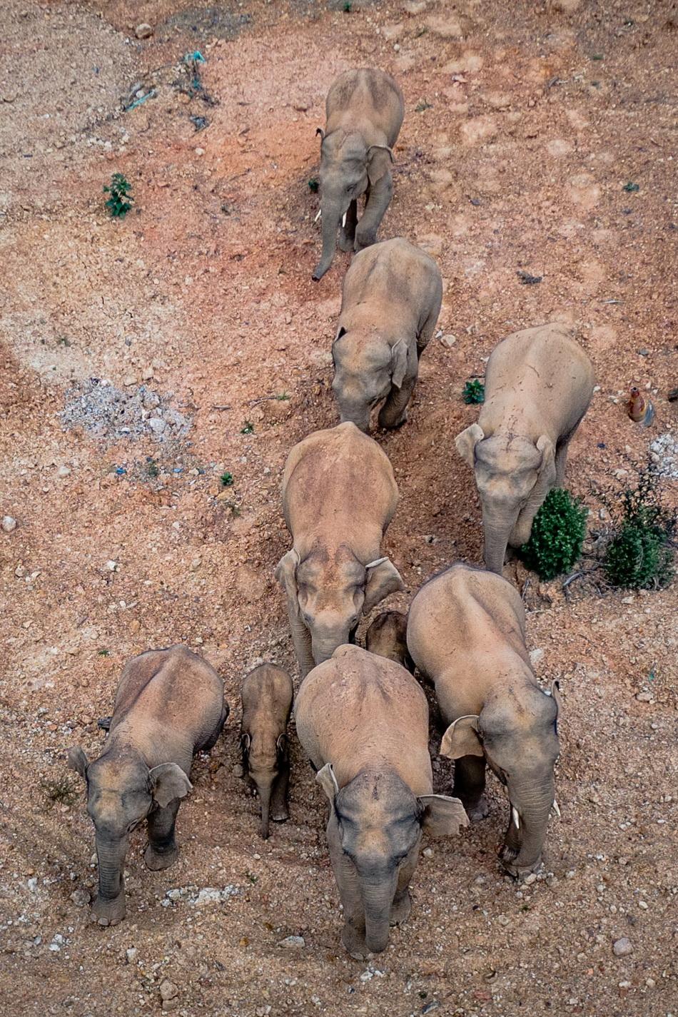 5月28日在云南省玉溪市峨山县境内拍摄的象群(无人机照片)。监测显示,该象群由成年雌象6头、雄象3头、亚成体象3头、幼象3头组成。新华社 图