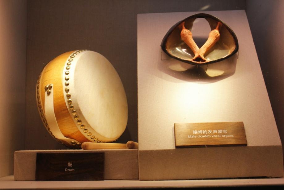 """上海自然博物馆《缤纷生命》展区""""自然之声""""部分,雄蝉的发声器官。主讲人供图"""