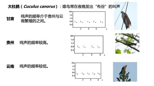 """鸟类也有""""方言"""",以大杜鹃为例,其各地""""方言""""的鸣声频率不同。主讲人供图"""