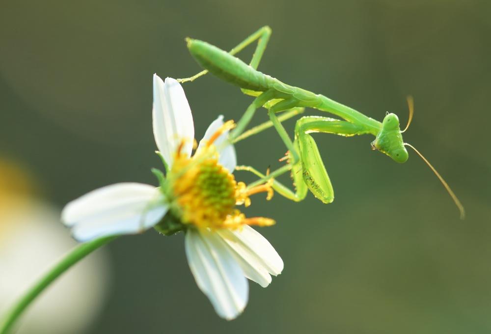 2020年8月29日,海南琼海,一只螳螂在花草上搔首弄姿。 视觉中国 图