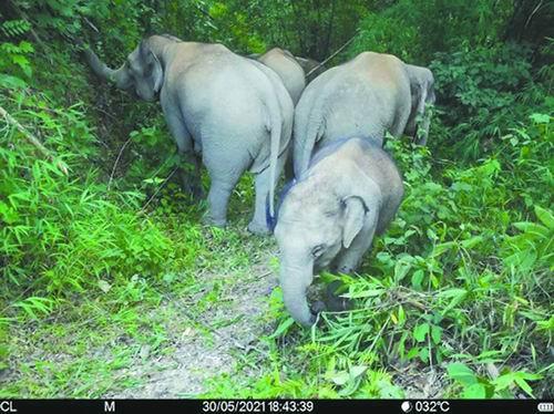 进入中科院西双版纳热带植物园的亚洲象???中科院西双版纳热带植物园供图