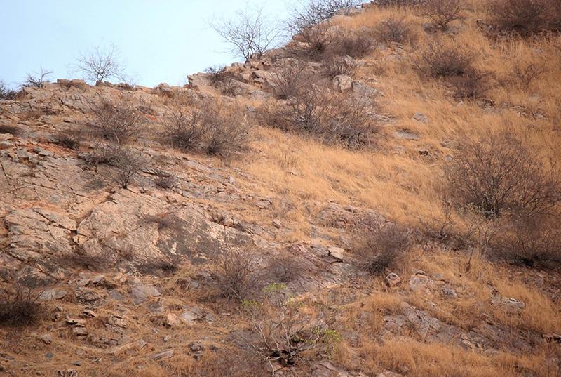 当地时间2021年6月11日报道,印度西拉贾斯坦邦斋普尔,一位来自印度首都新德里的摄影师拍到了一只完美隐藏在群山之中的豹子。