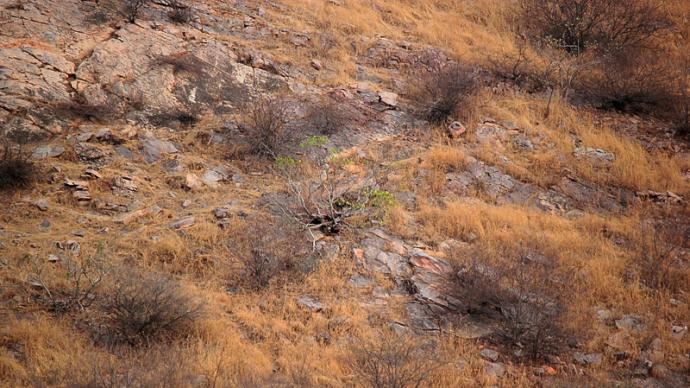 早安·世界 最会伪装的动物,一只隐藏在山中的豹子