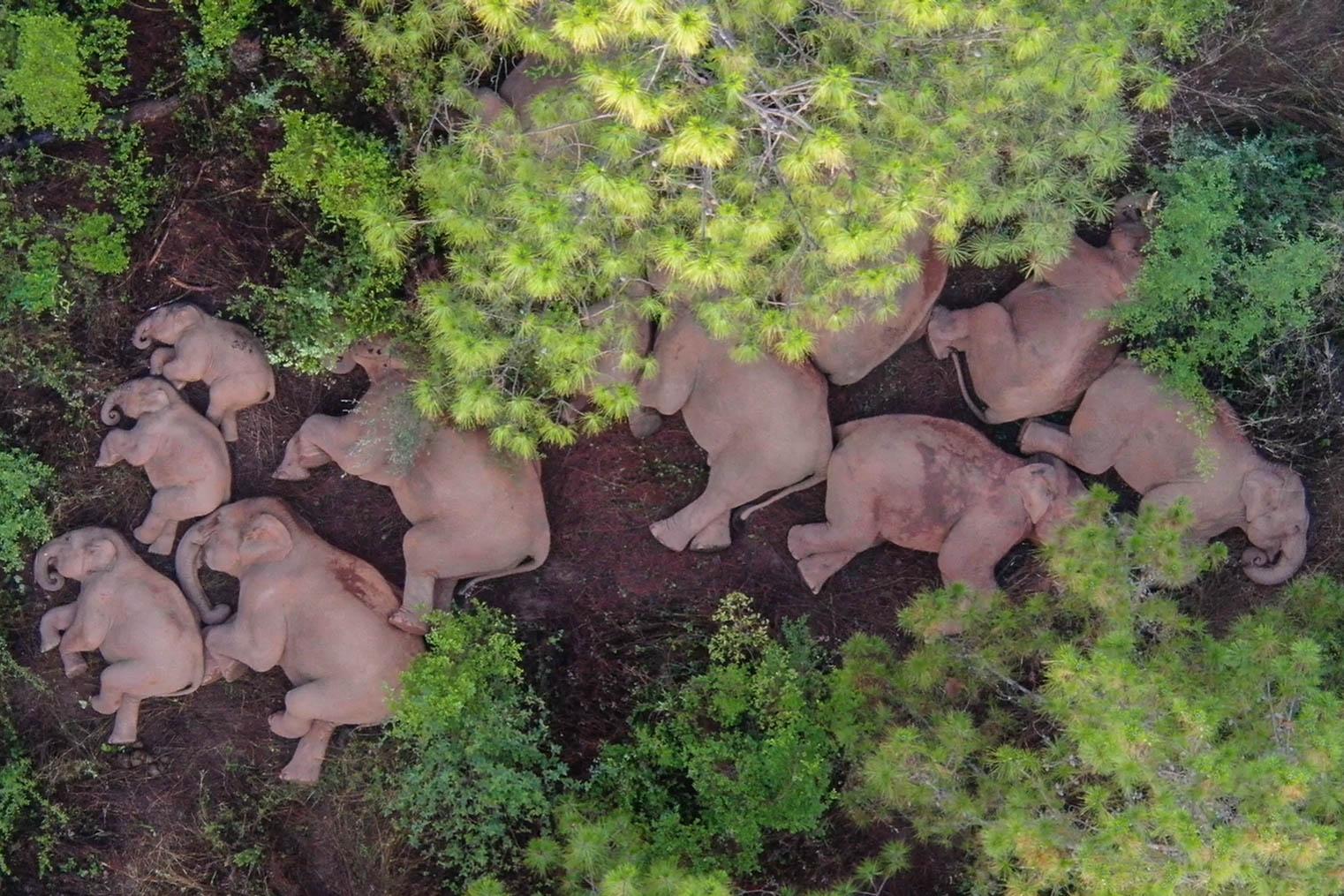 这是6月13日在云南省玉溪市易门县十街乡拍摄的象群(无人机照片)。森林消防供图