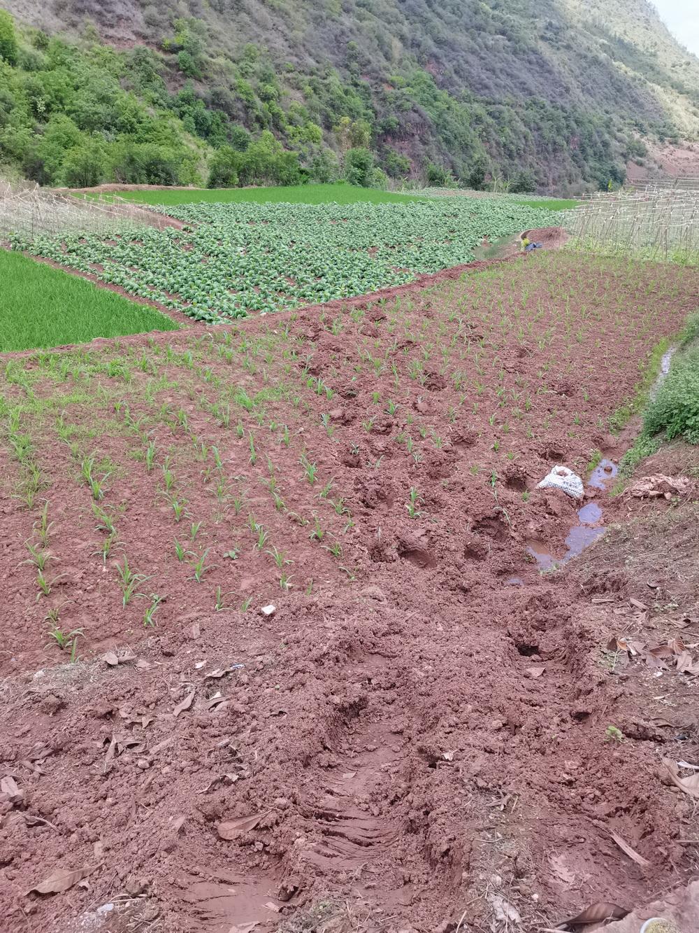 北迁象群觅食时踩踏的农田。实习生 朱怡欣 图