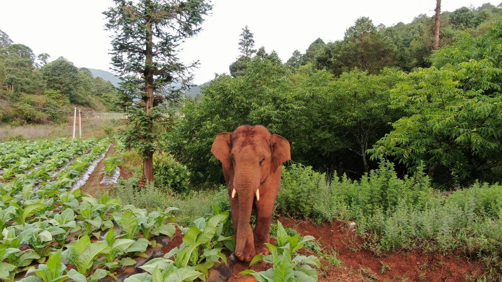 6月12日在昆明市晋宁区夕阳乡拍到的离群的公象。森林消防供图