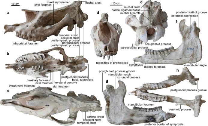 临夏巨犀的头骨和下颌骨正型标本