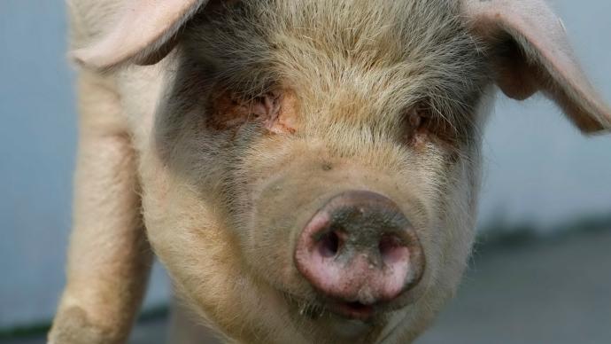 """图集 """"猪坚强""""走完传奇一生:作为汶川记忆或被制成标本"""