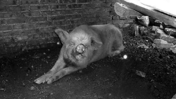 """14岁""""猪坚强""""走了,建川博物馆:尚未决定是否制成标本"""
