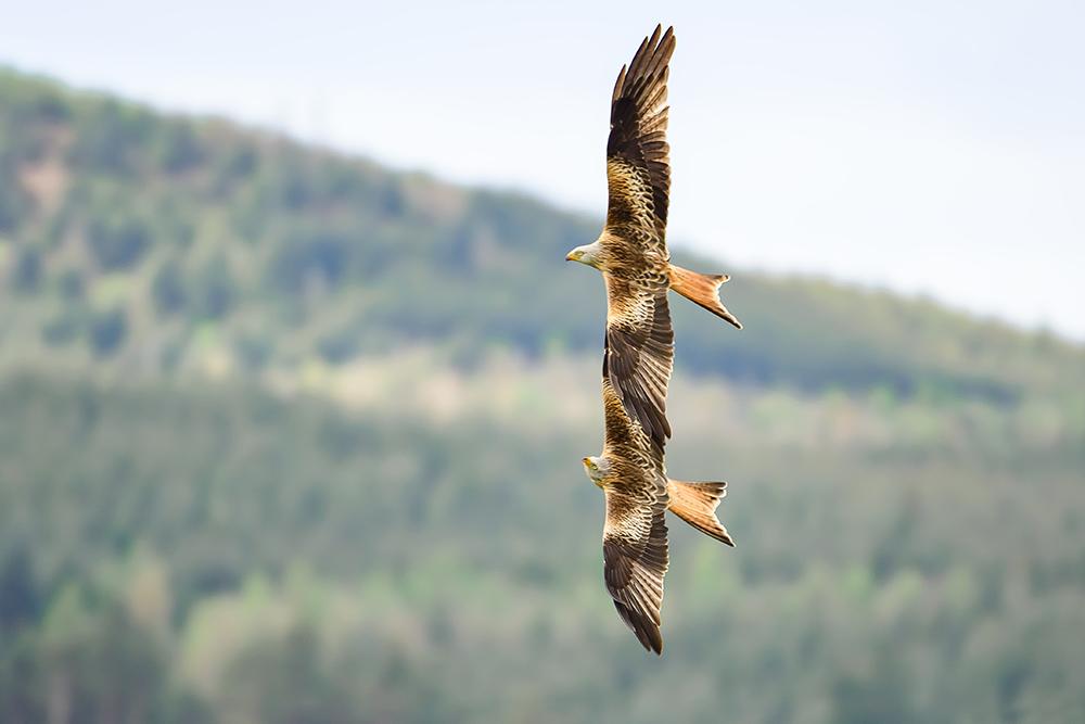 2021年6月11日报道(具体拍摄时间不详),英国苏格兰,在邓弗里斯和加洛韦起伏的山峦上,红鸢列队飞行,宛若红箭飞行表演队正在进行空中展示一般。