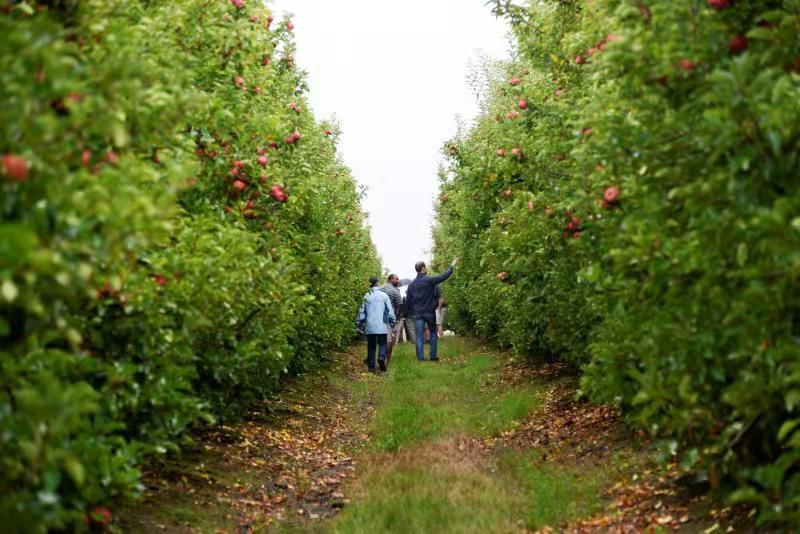 苹果种植现场