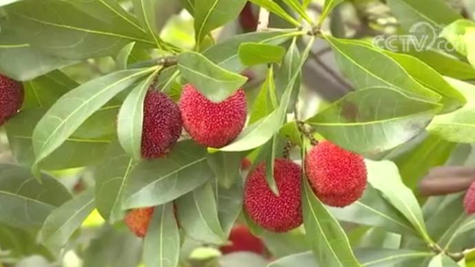 杨梅产销两旺:成国外高端水果,在欧洲一颗卖10元人民币