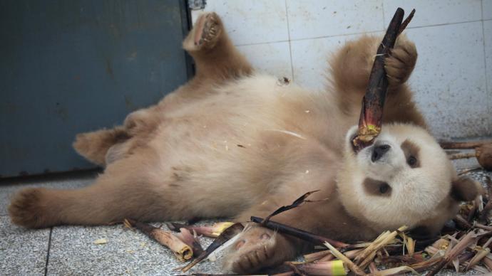"""一周图片 夏日炎炎!棕色大熊猫""""七仔""""开启躺吃模式"""