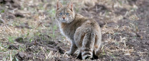青藏高原的特有猫科动物类群荒漠猫(Felis silvestris bieti) 图 宋大昭/CFCA