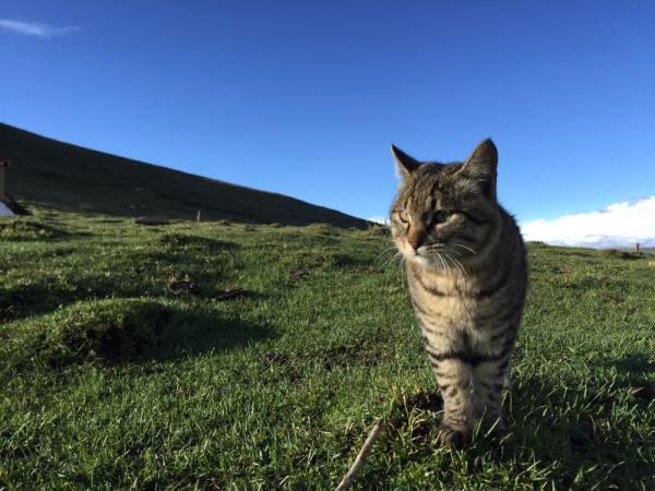 由非洲野猫驯化起源后扩散至东亚,近期又广泛受到同域分布荒漠猫基因渗透的家猫 图何兵