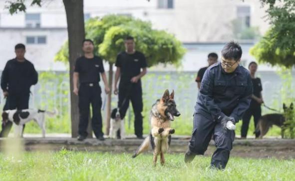 沈阳警犬技术基地,警犬在训练中。