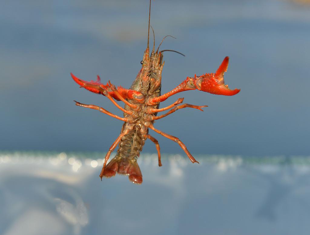 小龙虾(资料图)
