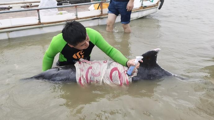 浙江寧海營救兩只擱淺糙齒海豚:包裹傷口冰塊降溫,正等漲潮