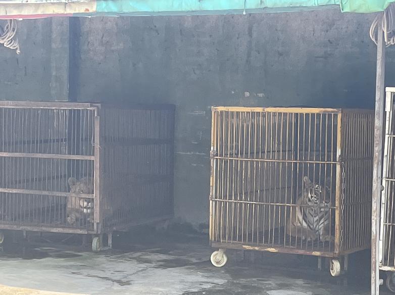 关在笼子里的老虎、狮子