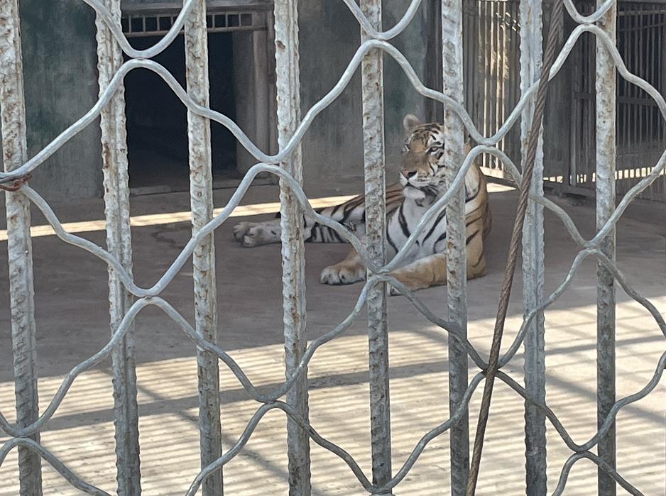 郑家养的老虎