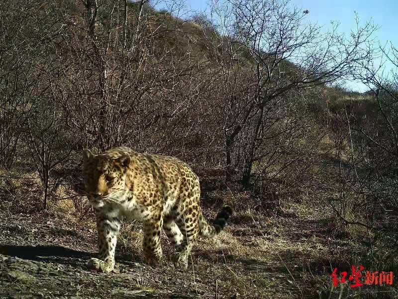 我国一级保护动物金钱豹。 猫盟CFCA 供图