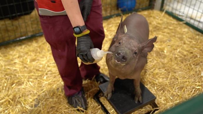 马斯克的脑机接口公司Neuralink曾展示过一头植入Neuralink设备的猪,名为Gertrude。