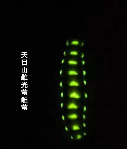 """天目山雌光萤 """"上海植物园""""微信公号 图"""