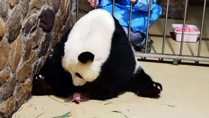 """成都大熊猫繁育研究基地大熊猫""""昭美""""产下""""奥运宝宝"""""""