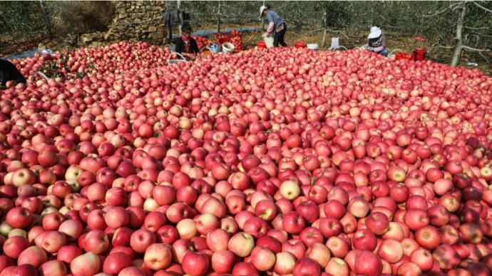 多地苹果低价滞销:境外疫情影响、供过于求,有果品开始腐烂