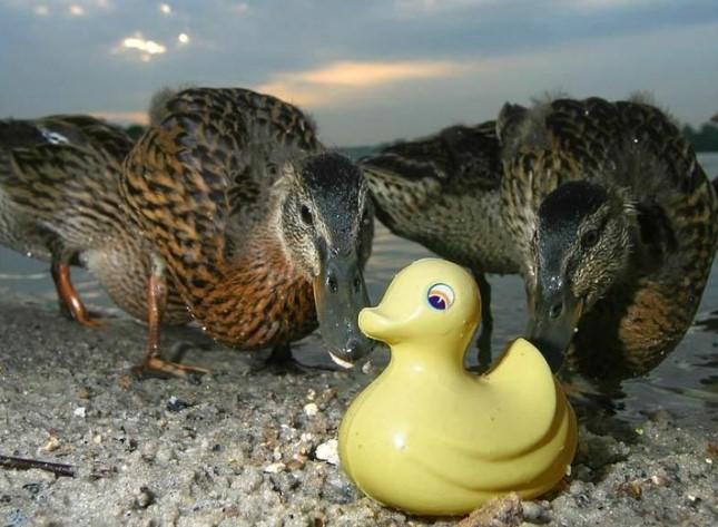 风吹日晒15年后的小鸭子