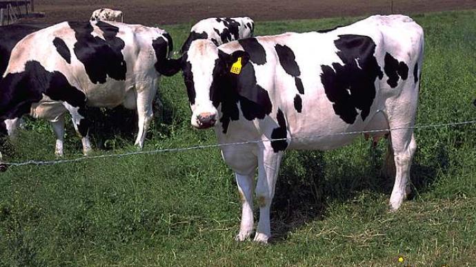 俄羅斯成功克隆轉基因奶牛可產無乳糖牛奶
