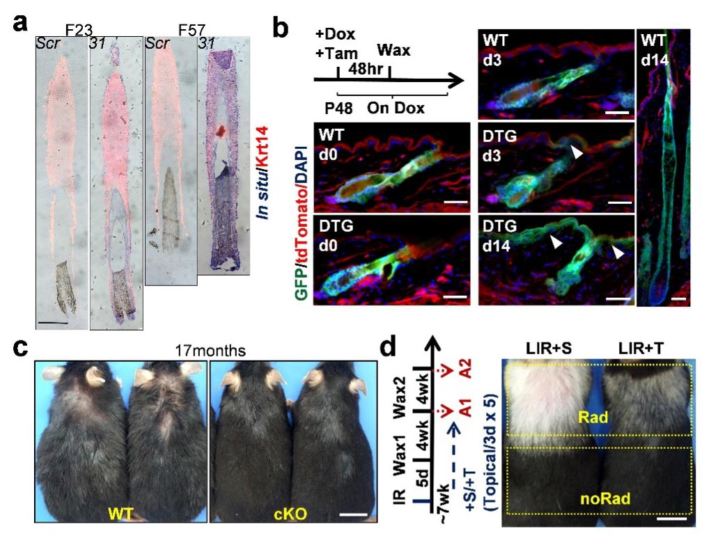 """a)miR-31在人类衰老毛囊中表达上调。b)谱系追踪显示miR-31上调促进小鼠毛囊干细胞向表皮转分化。c)miR-31在小鼠毛囊干细胞中的条件性敲除(cKO)延缓皮肤自然衰老。d)皮肤表面涂抹MEK抑制剂曲美替尼(+T)显著抑制皮肤辐照早衰。""""中国科学院上海营养与健康研究所""""微信公号 图"""