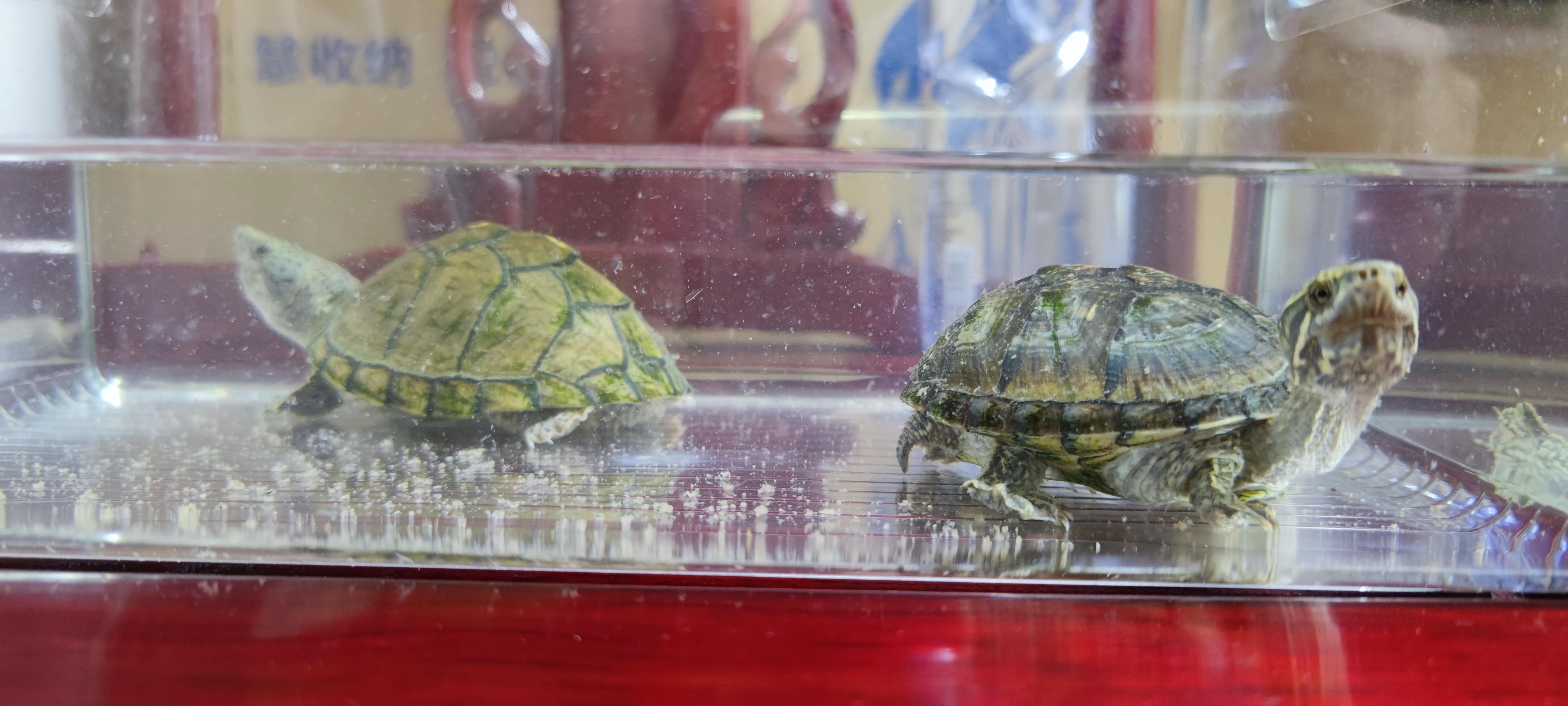 8月21日,宠物龟与主人隔离第二日。受访者供图