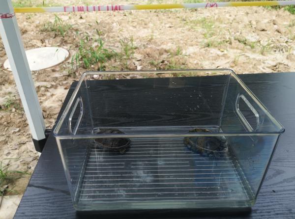 8月20日下午,宠物龟即将进入小区隔离。澎湃新闻记者 张慧 摄