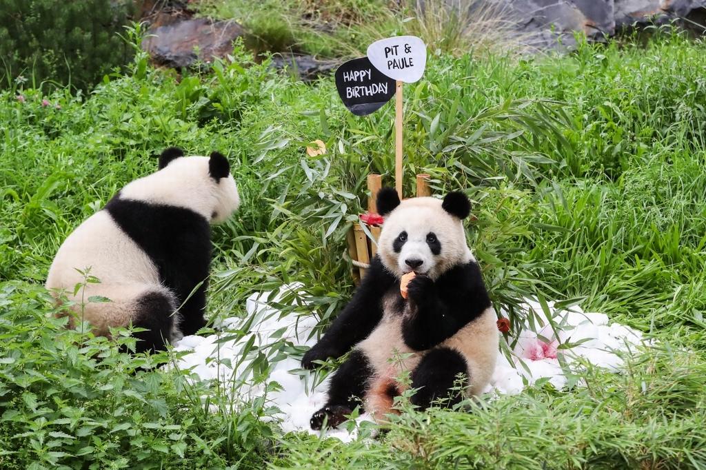 """當地時間2021年8月31日,大熊貓幼崽""""夢圓""""(右)和母親""""夢夢""""在德國柏林動物園享用""""生日蛋糕""""。"""