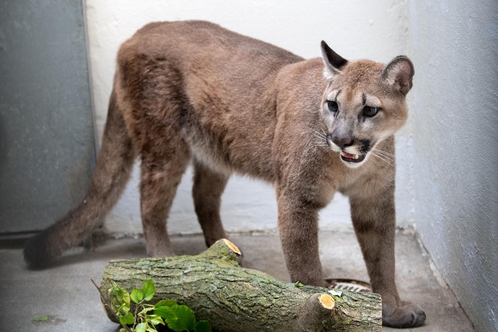 當地時間2021年8月31日,美國紐約,重80磅的雌性美洲獅Sasha從一所公寓被帶走。她的主人意識到不該在公寓里飼養,主動交出。