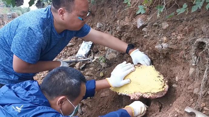 河南汝州雨水冲出古象化石,距今200多万年