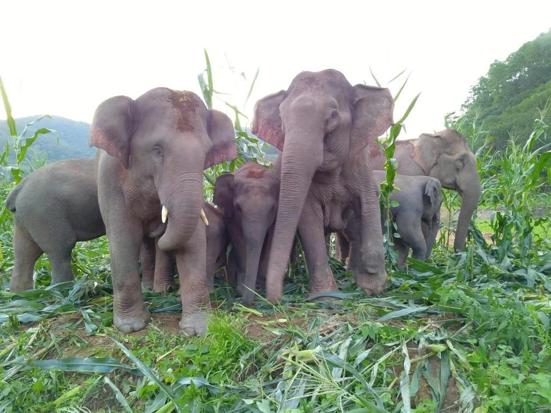 亚洲象进入村民农田采食玉米