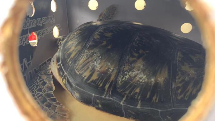 """6只瀕危綠海龜""""坐上""""上海飛三亞航班,等待重歸大海"""