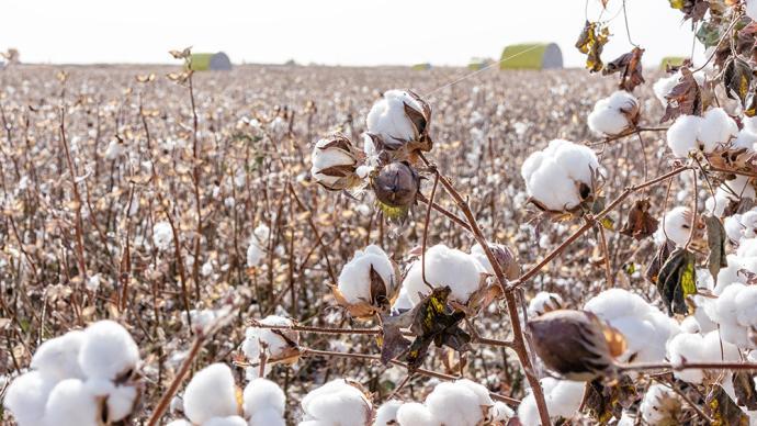 """首批按""""中国标准""""生产的棉花进入审核认证环节"""