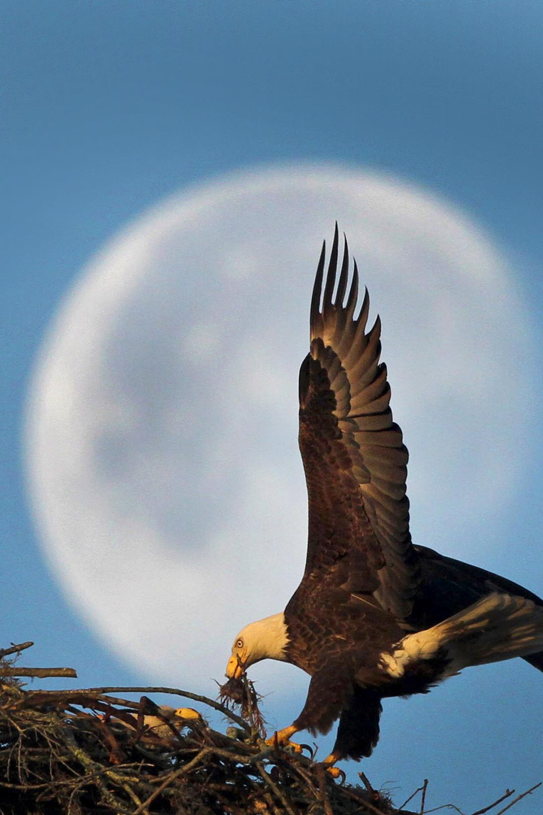 当地时间2012年1月12日,美国佛罗里达州桑福德市,一只秃鹰衔着猎物降落在西边空中的月亮前方。摄影师:Red Huber