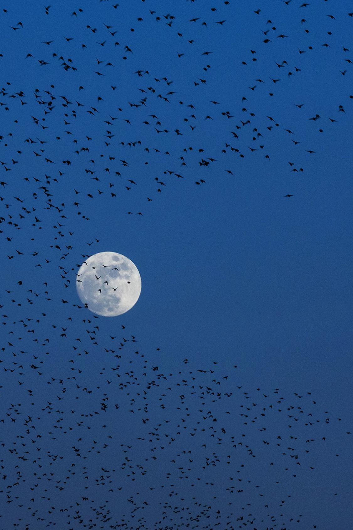 当地时间2017年1月11日,土耳其科尼亚,满月当空,一群鸟儿在自由飞舞。