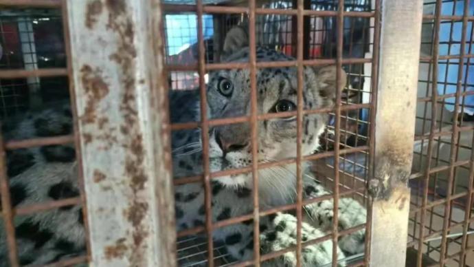 雪豹获救后疑被动物园圈养将展出,内蒙古林草局派工作组核查