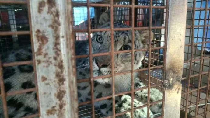 """内蒙古林草局:""""疑被圈养将展出""""的获救雪豹计划今日傍晚放归"""
